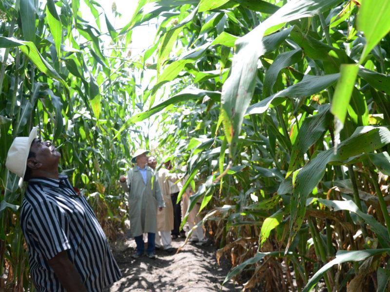 Newly developed high biomass sorghum.