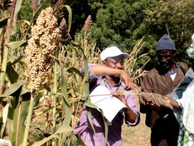 Farmers visiting sorghum field. Photo: Agathe Diama, ICRISAT