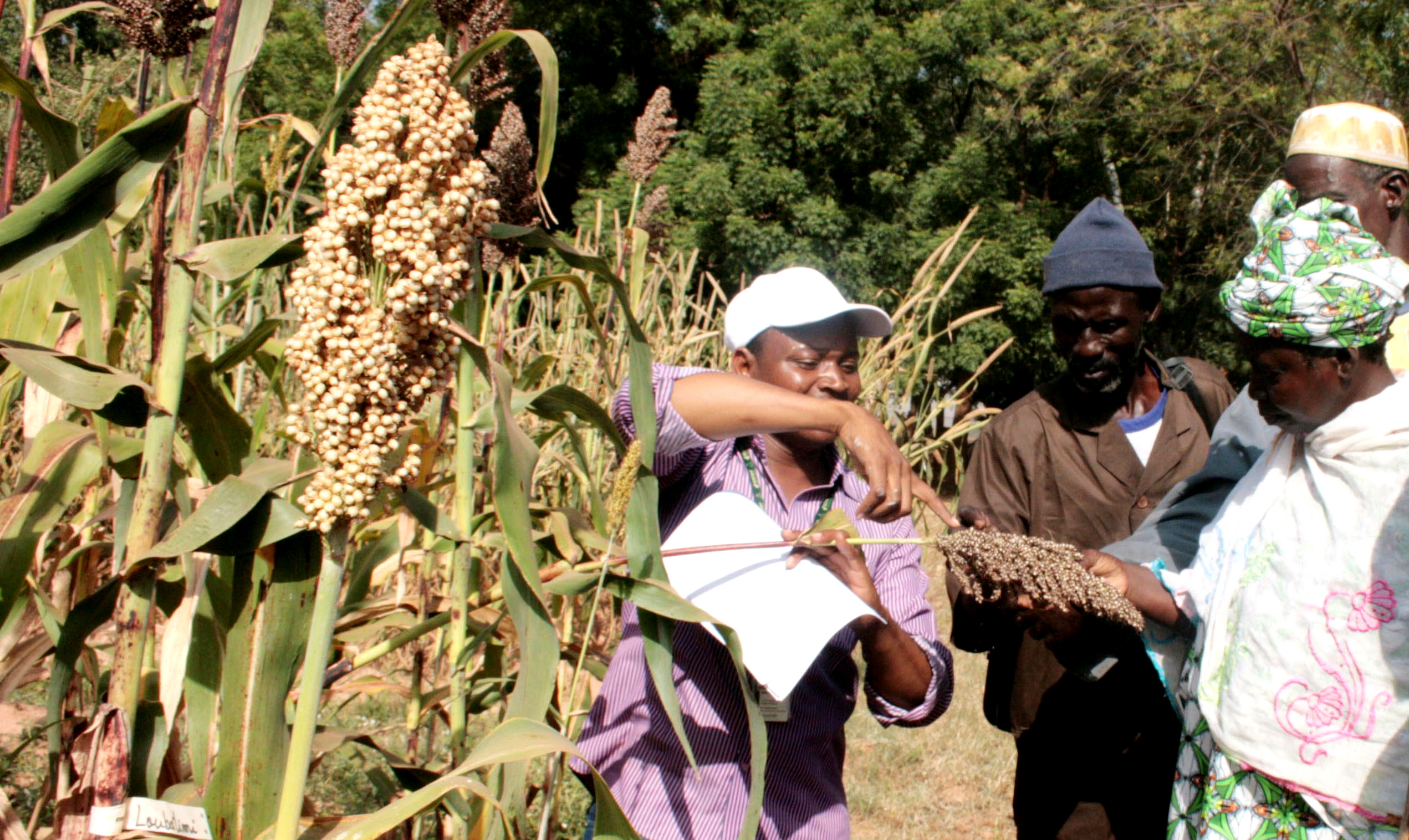Farmers visiting sorghum field. Photo: Agathe Diama, ICRISAT