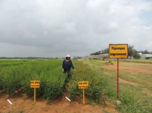 A pigeonpea improvement field at ICRISAT headquarters, India.