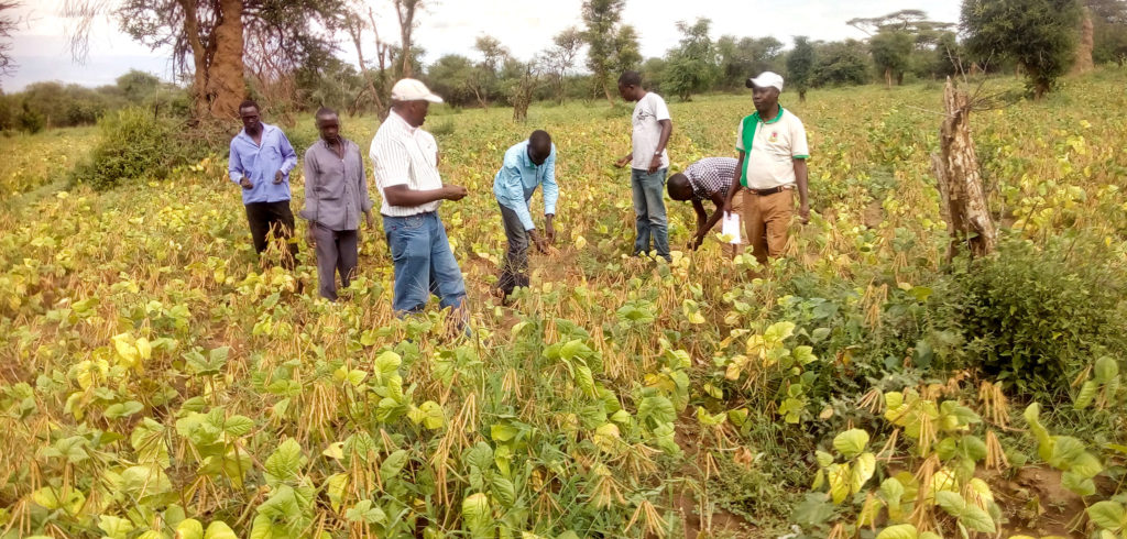 Farmers and project members inspecting green gram crop.