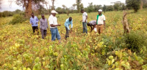Farmers and project members inspecting green gram crop. Photo: Egerton University