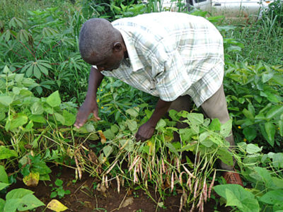 Examining NAROBEAN 1 during on-farm evaluation trials in Mubende, Uganda. Photo: CIAT