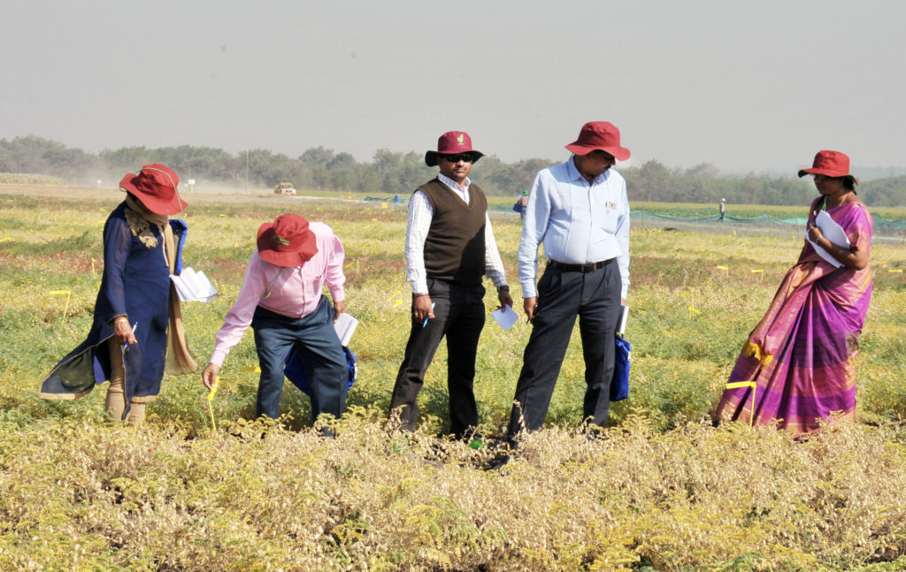 Scientists inspecting and selecting chickpea breeding lines. Photo: PS Rao, ICRISAT