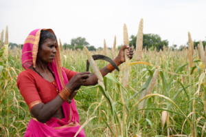 A woman farmers harvests pearl millet in Andhra Pradesh, India. Millets were once a steady part of Indians' diets until the Green Revolution, which encouraged farmers to grow wheat and rice. Now, the grains are slowly making a comeback. Photo: L.Vidyasagar, ICRISAT