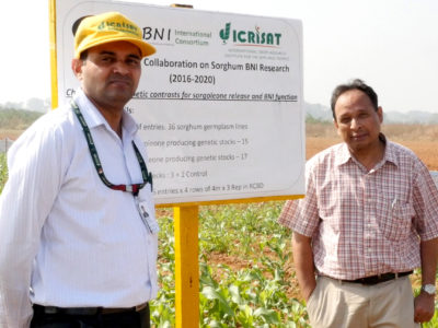 Collaborators Santosh Deshpande (ICRISAT) and G. Subbarao (JIRCAS) in a BNI sorghum trial.