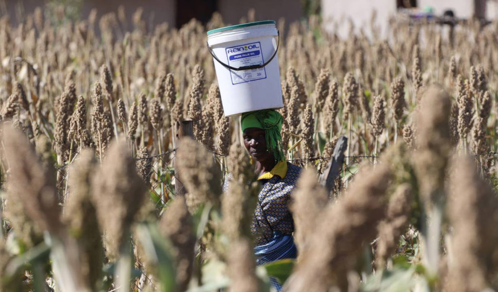A woman carries water as she walks through a field of sorghum in drought-hit Masvingo, Zimbabwe, June 1,2016. REUTERS/Philimon Bulawayo