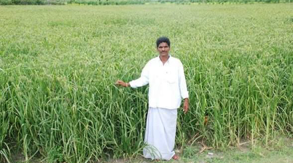 Farmer Gopal at his finger millet field grown with integrated water and improved practices.