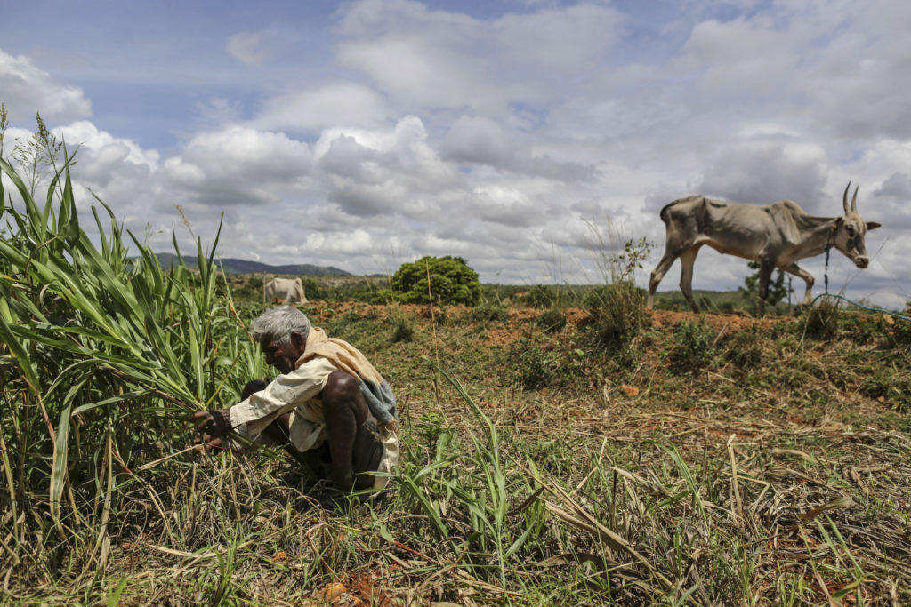 A farmer cuts millet fields as it sit at Pancharala village outskirt of Bengaluru, India. Photo: Dhiraj Singh, Bloomberg