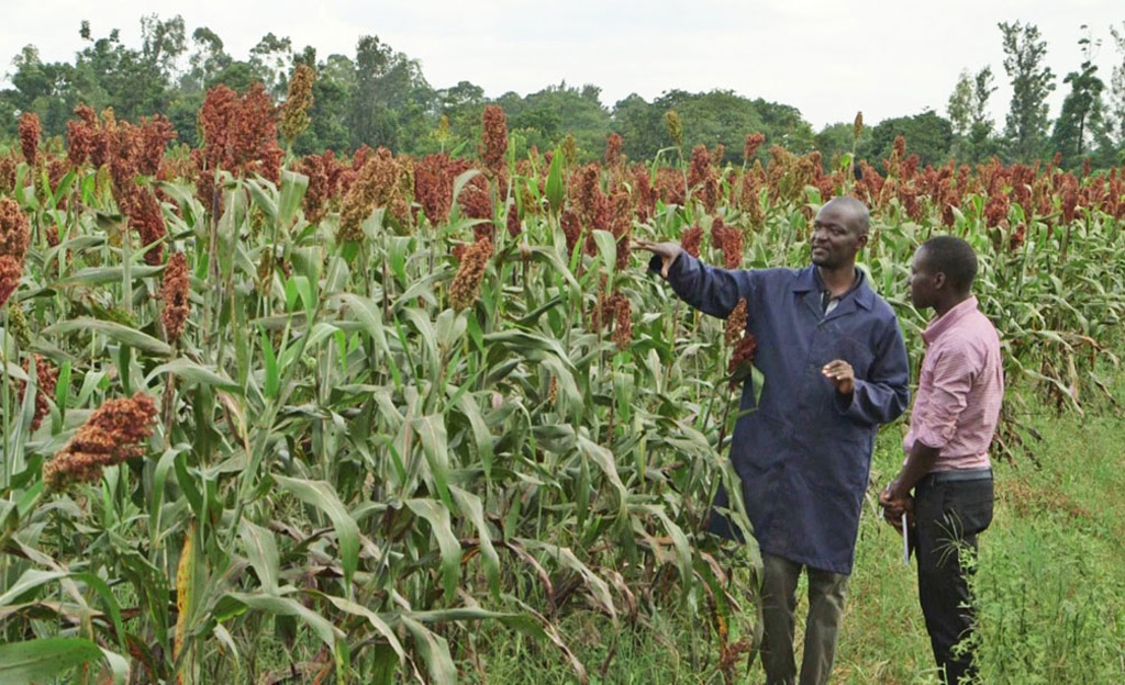 Mr Daniel Ajaku (ICRISAT Research Technician) with a student at a seed multiplication plot of sorghum variety IS 8193. Photo: ICRISAT