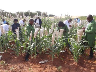 Trainees learning hand emasculation on sorghum. Photo: ICRISAT