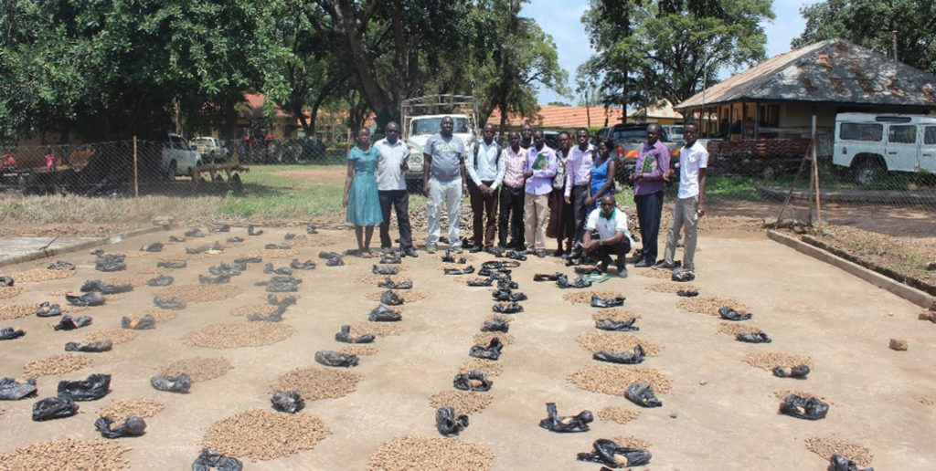 Selecting advanced groundnut lines based on pod and seed aspects. Photo: ICRISAT