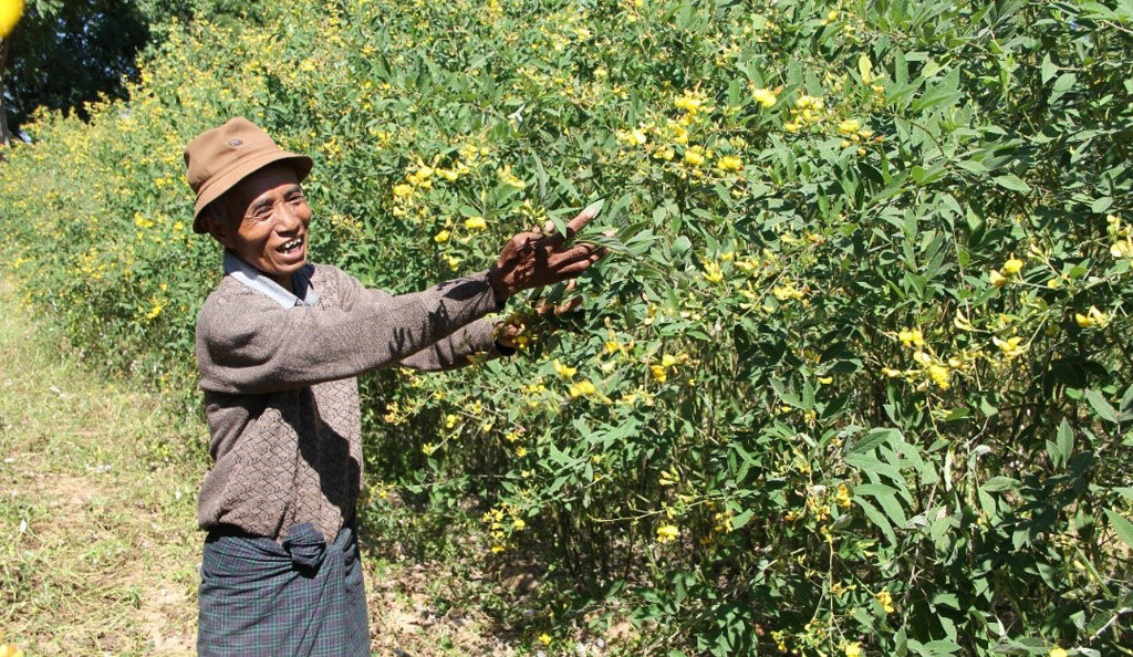 A Myanmar farmer with an improved variety of pigeonpea. Photo: Pooran Gaur, ICRISAT.