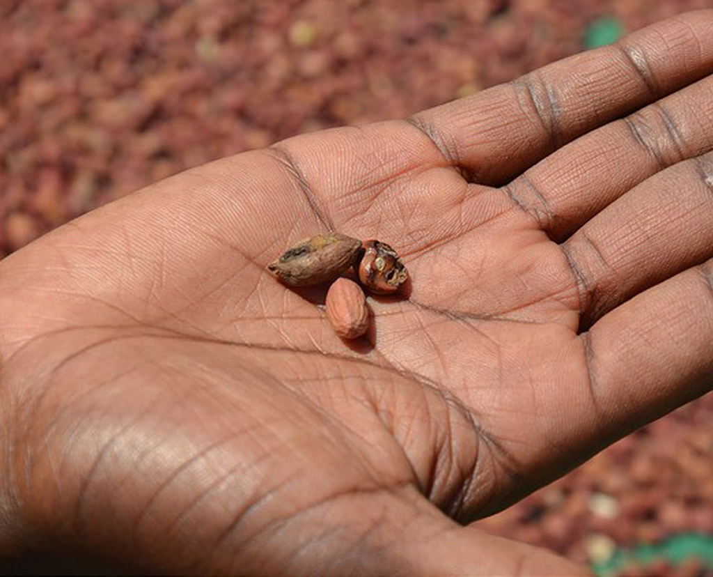 Aflatoxin infected groundnuts in Malawi. Aflatoxin affects 5 billion people globally with severe impacts on health and livelihoods Photo credit A. Paul-Bossuet ICRISAT