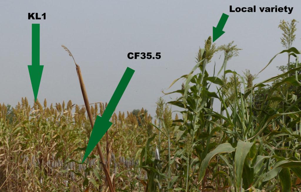 Sorghum varieties sown in Abdullahi Shehu's field. PC: M. Magassa, ICRISAT