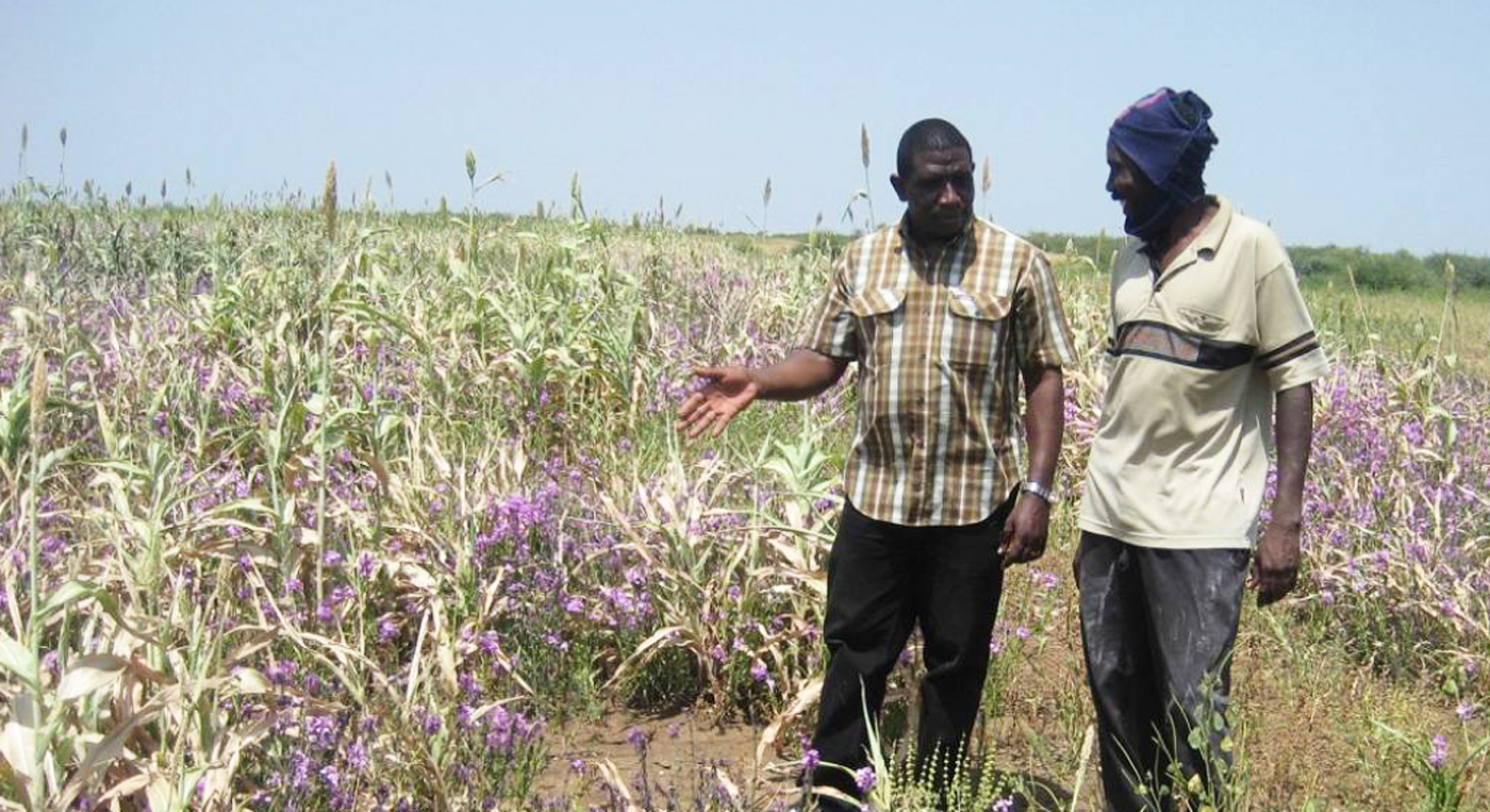 A striga infested sorghum field in Sudan