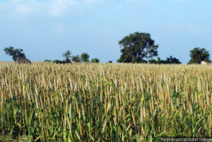 A pearl millet farm in Raichur, Karnataka. A new government proposal seeks to put millets–which have higher iron, calcium and mineral content than rice, wheat and wheat derivatives–back in the Indian diet.