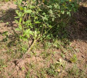 The fungus causing phytophthora blight in pigeonpea affects the plant at any growth stage. In most cases the roots remain healthy but the stem weakens causing it to dry out and eventually break off. PC: Michael Major/Crop Trust
