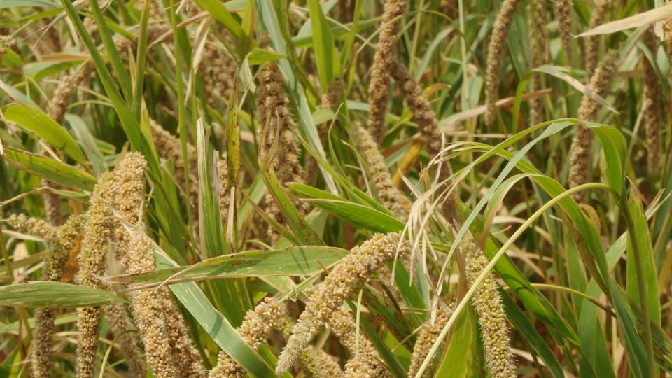 Millets are mostly cultivated in low-fertile lands, mountainous terrain, tribal and rain-fed areas in states such as Andhra Pradesh, Chhattisgarh, Gujarat, Haryana, Madhya Pradesh, Maharashtra, Karnataka, Uttar Pradesh, Tamil Nadu and Telangana.(File Photo)
