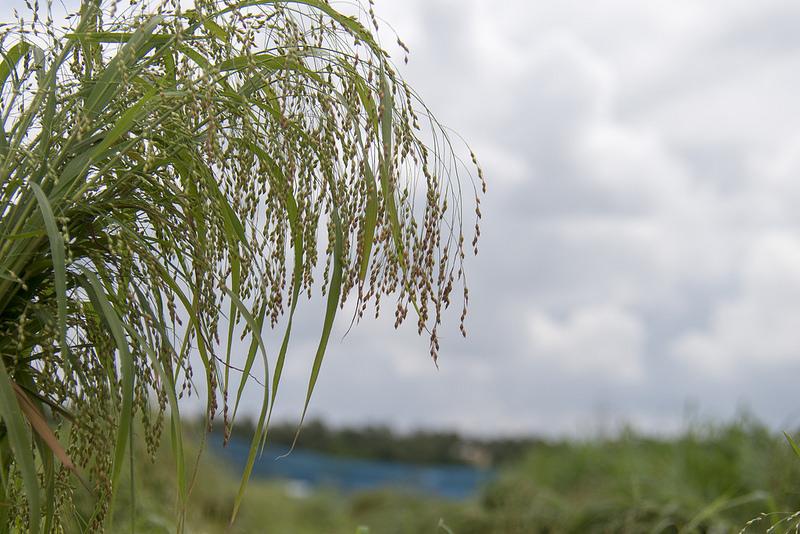 Proso millet. Photo: Srujan Punna, ICRISAT