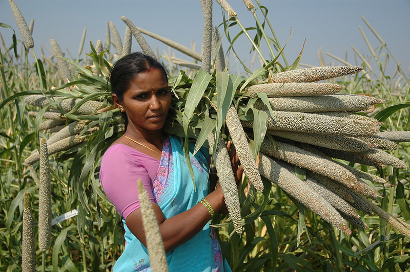 Pearl millet is a best bet to fight climate change. A hardy warm-season cereal crop, which grows in even during harsh climates. Indian women farmer with a bountiful of pearl millet panicles. Photo by ICRISAT