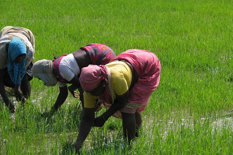 Women working hard to plant the spring harvest of rice paddy in Kancheepuram district, Tamil Nadu. Photo by McKay Savage/Wikimedia Commons
