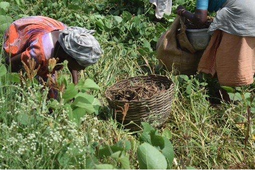 Millet farmers in Kerala's Attappady