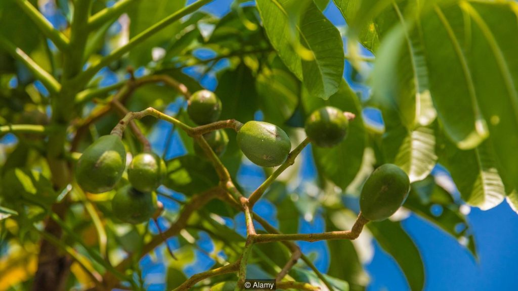The kedondong berries have fallen out of favour in recent decades (Credit: Alamy)