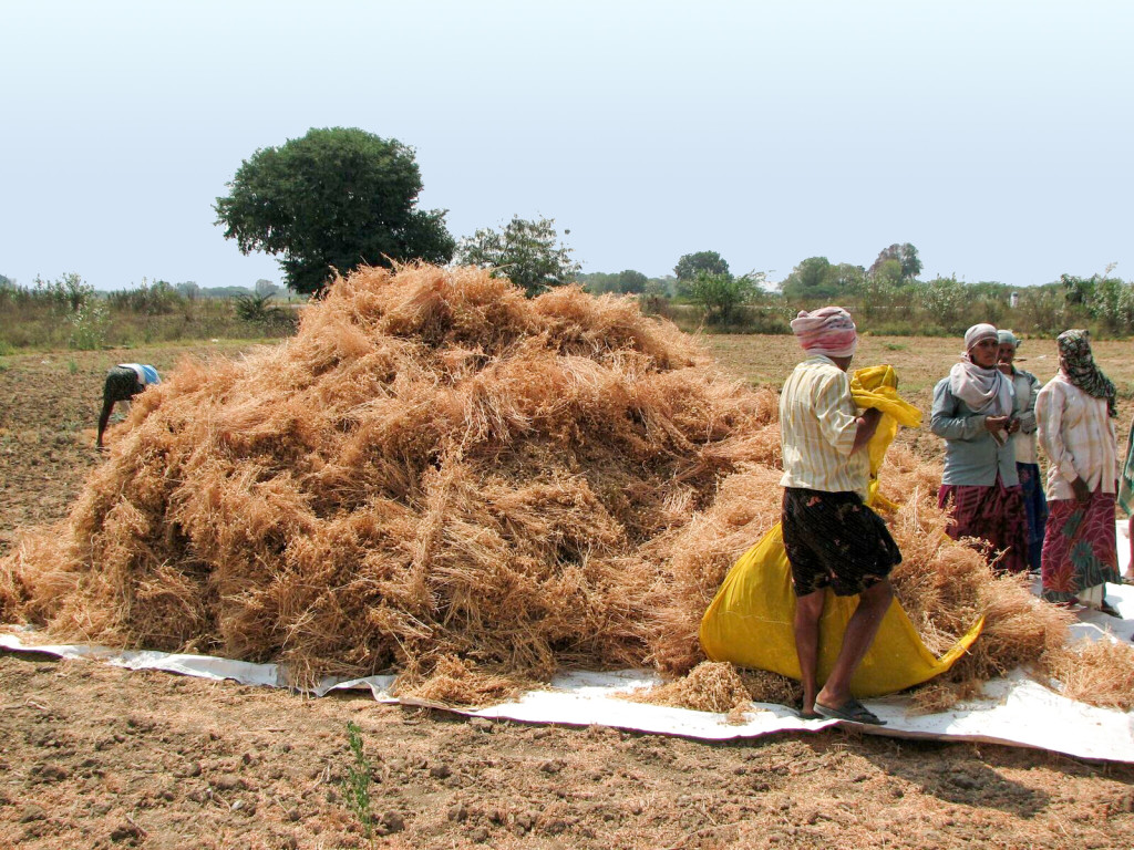Chickpea harvest at Prakasam district, Andhra Pradesh, India. Photo: Ranjit K, ICRISAT
