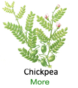 Chickpea-single-123-ty