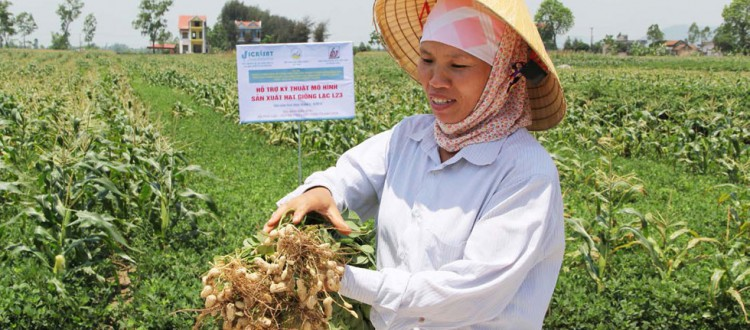 A farmer in Vietnam showing an improved variety of groundnut.