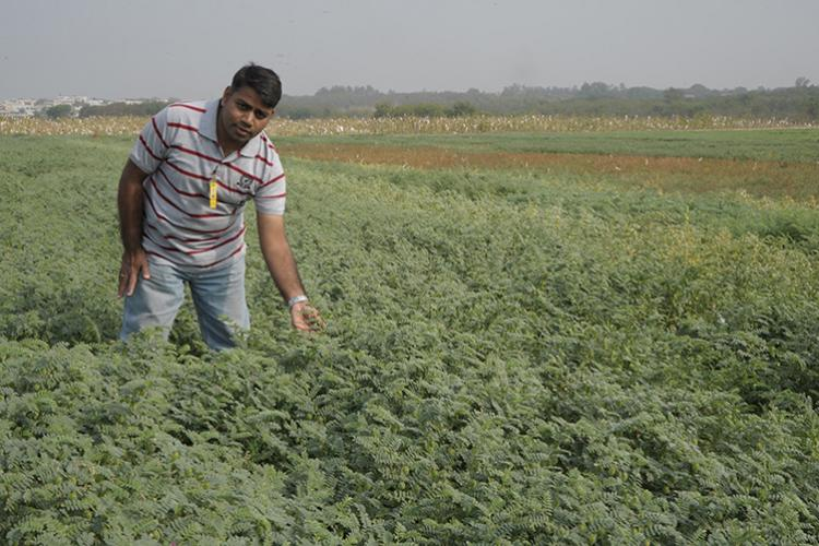 Dr Rajeev Varshney in the fields helping to increase crop production. Photo: courtesy of the Integrated Breeding Platform