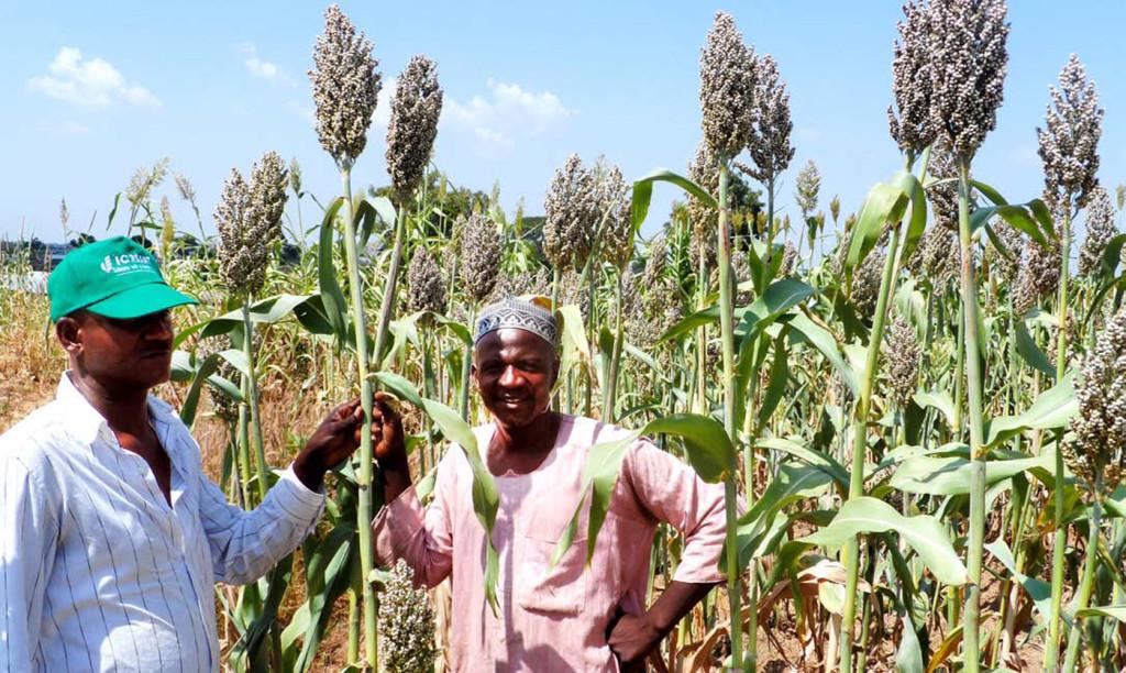 Farmers in the field with Improved Deko (12KNICSV-188). Photo: I Angarawai, ICRISAT