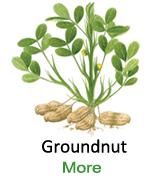 Groundnut-separete-image-123456
