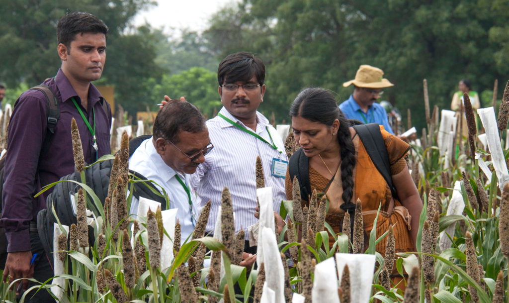 Participants selecting breeding materials and parental lines of potential hybrids for their programs. Photo: PS Rao, ICRISAT