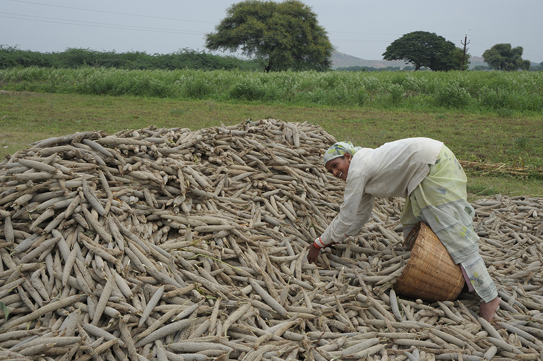 Pearl millet farmer in India.