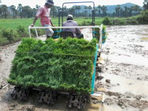 The transplanting machine in action. Photo: Rajesh Nune, ICRISAT