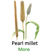 Pearlmillet-single-image-123456