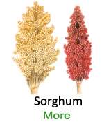 Sorghum-single-image-123456