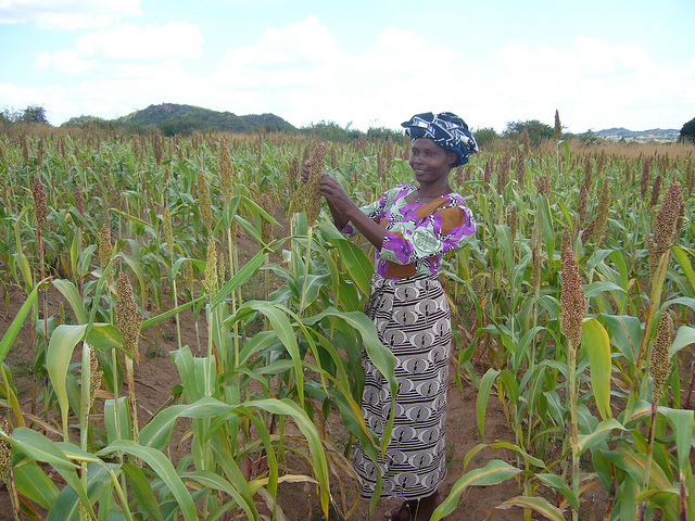 Sorghum, the staple cereal crop of moderately dry areas across Africa, has many uses including food, feed and industrial products. (Photo: Eric Manysa, ICRISAT)