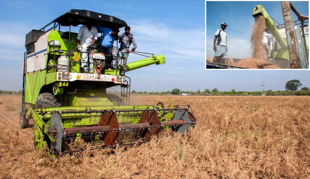 machine-harvestable-chickpea