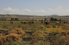 Livestock graze on chickpea stalks in dryland Ethiopia