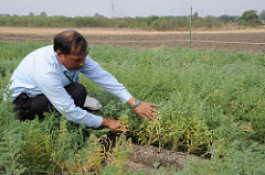 ICRISAT scientist Dr PM Gaur examining heat-tolerant chickpea plants at ICRISAT headquarters