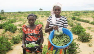 Farmer with her harvest of okra Photo M. Amadou ICRISAT