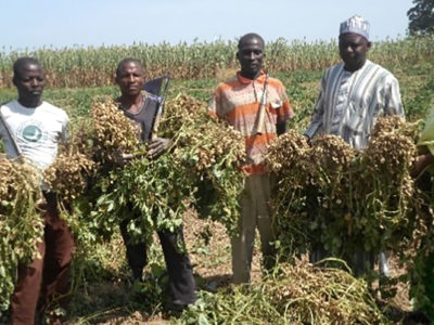 Harvesting Samnut 24 in Nigeria. Photo: Hakeem Ajeigbe, ICRISAT