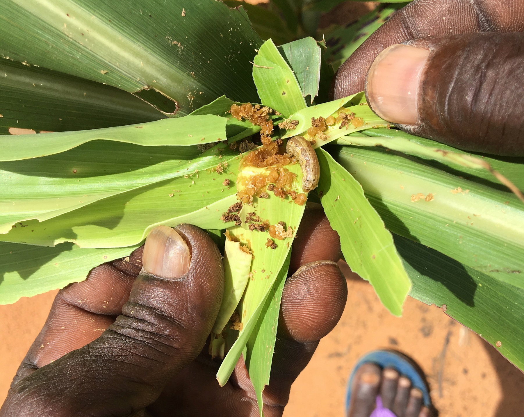 Feeding on sorghum in Niger