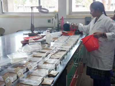 Testing accessions for viability at ICRISAT. Photo: S Ghosh