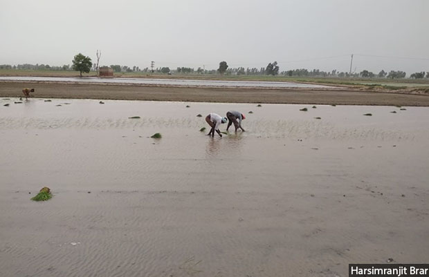 In Fatuhi Khera, Punjab, crop losses following a deluge in 2009 prompted a switch from growing cotton to paddy in 75% of the acreage that was earlier under cotton. Since paddy withstands water logging better than cotton, farmers see its cultivation as a means to protect their income against losses emanating from excessive rainfall during the monsoon.