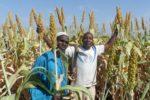 Farmers with the SAMSORG 47 ZAUNA INUWA variety