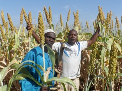 Farmers with the SAMSORG 47 ZAUNA INUWA variety